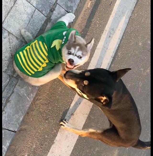 哈士奇和柴犬打架,每一张照片都是表情包,二哈:搞笑我从没输过