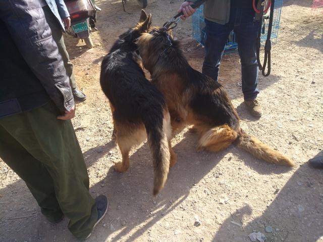 在狗市,商贩捆绑销售两只德国牧羊犬一共1200元,却没人买!