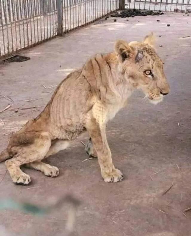 苏丹动物园环境恶劣,笼子生锈一地腐肉,五只非洲狮瘦成皮包骨