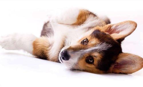 原创            【养狗心得分享】柯基缺钙什么样,柯基耳朵立了又塌是缺钙吗