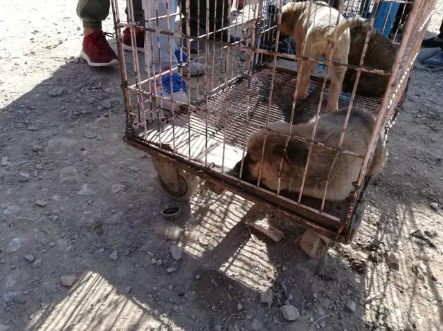 狗市出售肉狗,有的人买回去做看家狗!价格便宜很是划算
