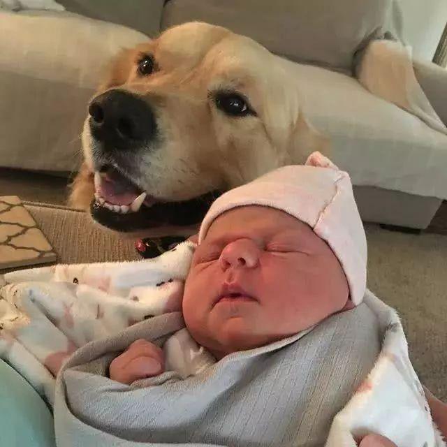 """小主人出生了,两只金毛瞬间变""""妹控"""",太有爱了!"""