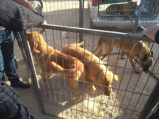 半岁大的金毛商贩报价500元一只,在狗市属于贵还是便宜呢?