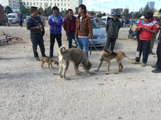 在狗市,男子吆喝着卖三只成年犬,看的人多就是没人买!