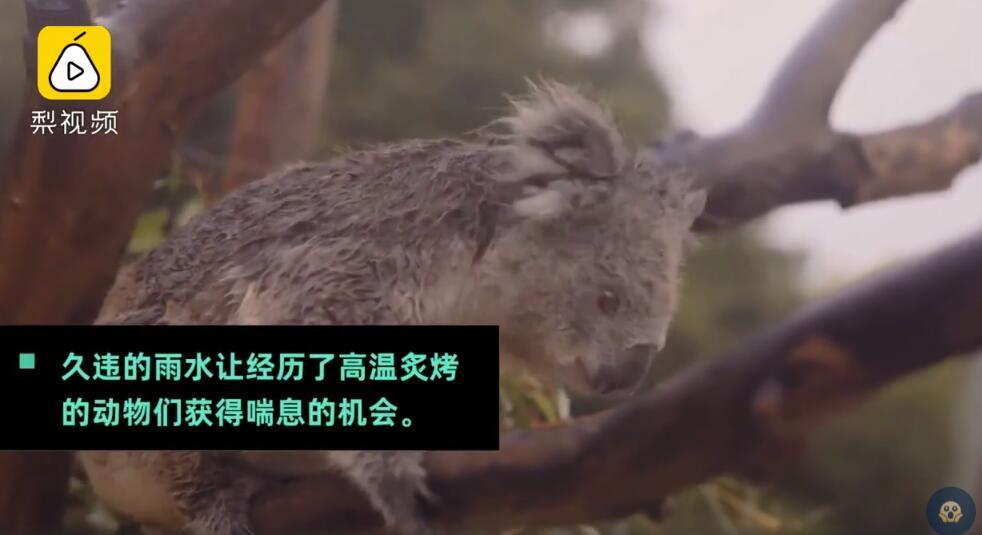 劫后余生美好一幕!澳大利亚动物雨中嬉戏,考拉雨中吃树叶