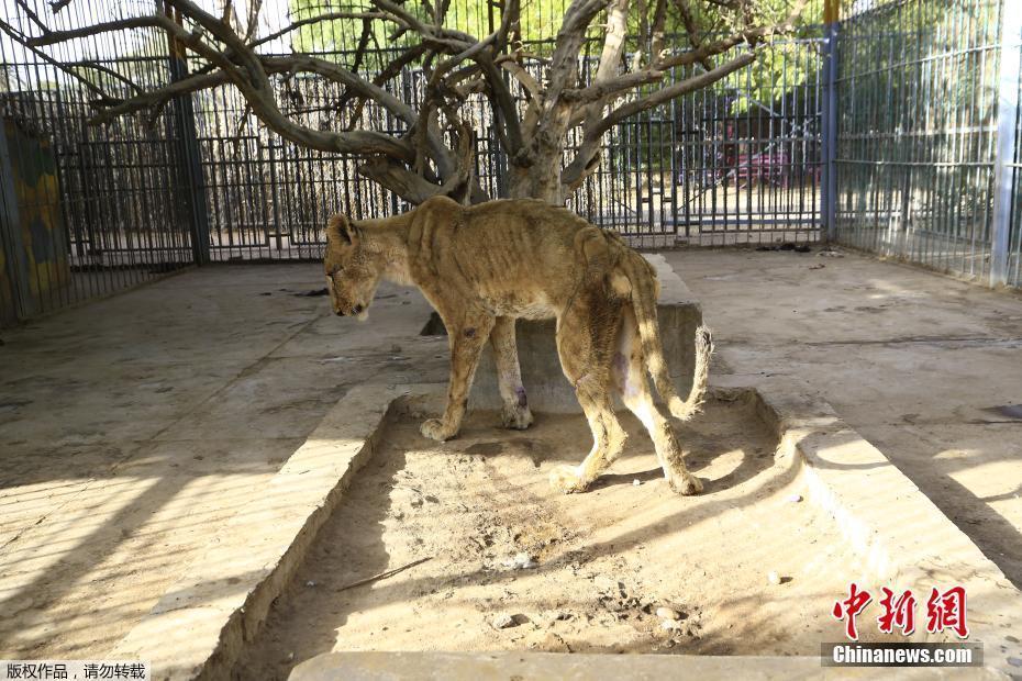 苏丹遭遇经济危机 首都动物园内狮子瘦到皮包骨