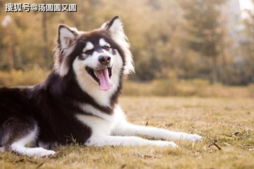 原创            【养狗心得分享】阿拉斯加腊月脱毛该怎么处理