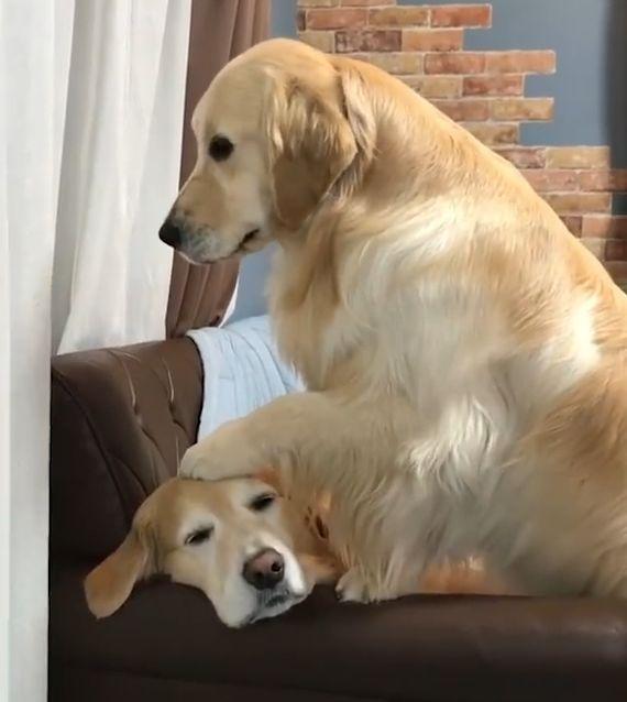 大金毛摸了一下同伴后,竟然噗嗤一下笑了:撸狗原来那么好玩!