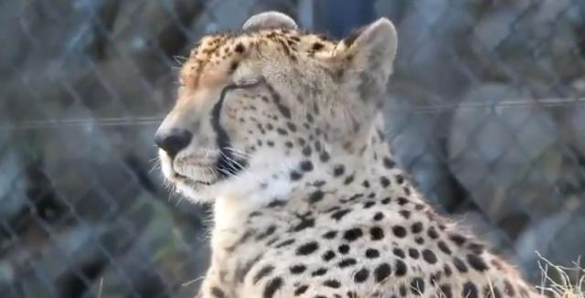 原创            猎豹打瞌睡流口水,醒来后四处张望:没被其他动物看见吧?