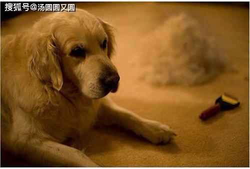 原创            【养宠经验】金毛脱毛是什么原因,金毛12月掉毛
