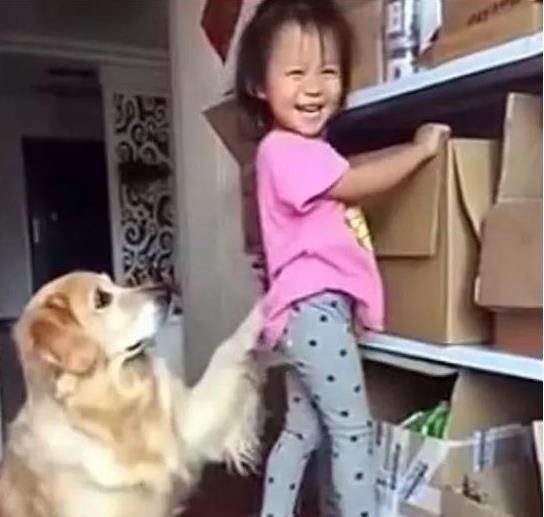 小主人偷偷找零食吃,金毛给她放哨,主人来了看到这幕笑翻!