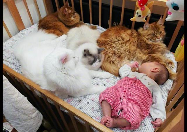 几只猫霸占婴儿床,宝宝只能睡在角落边上,猫:我们是来守护他的