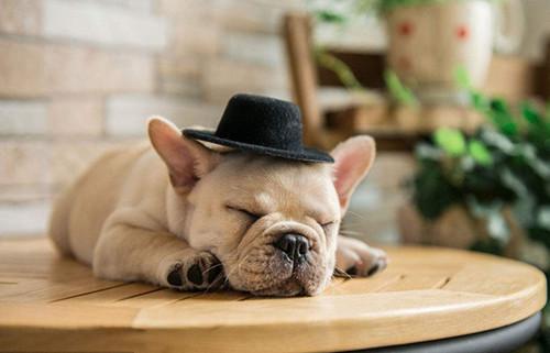 给法国斗牛犬绝育年龄是什么时候,就是法国斗牛犬逐渐进入成年期后