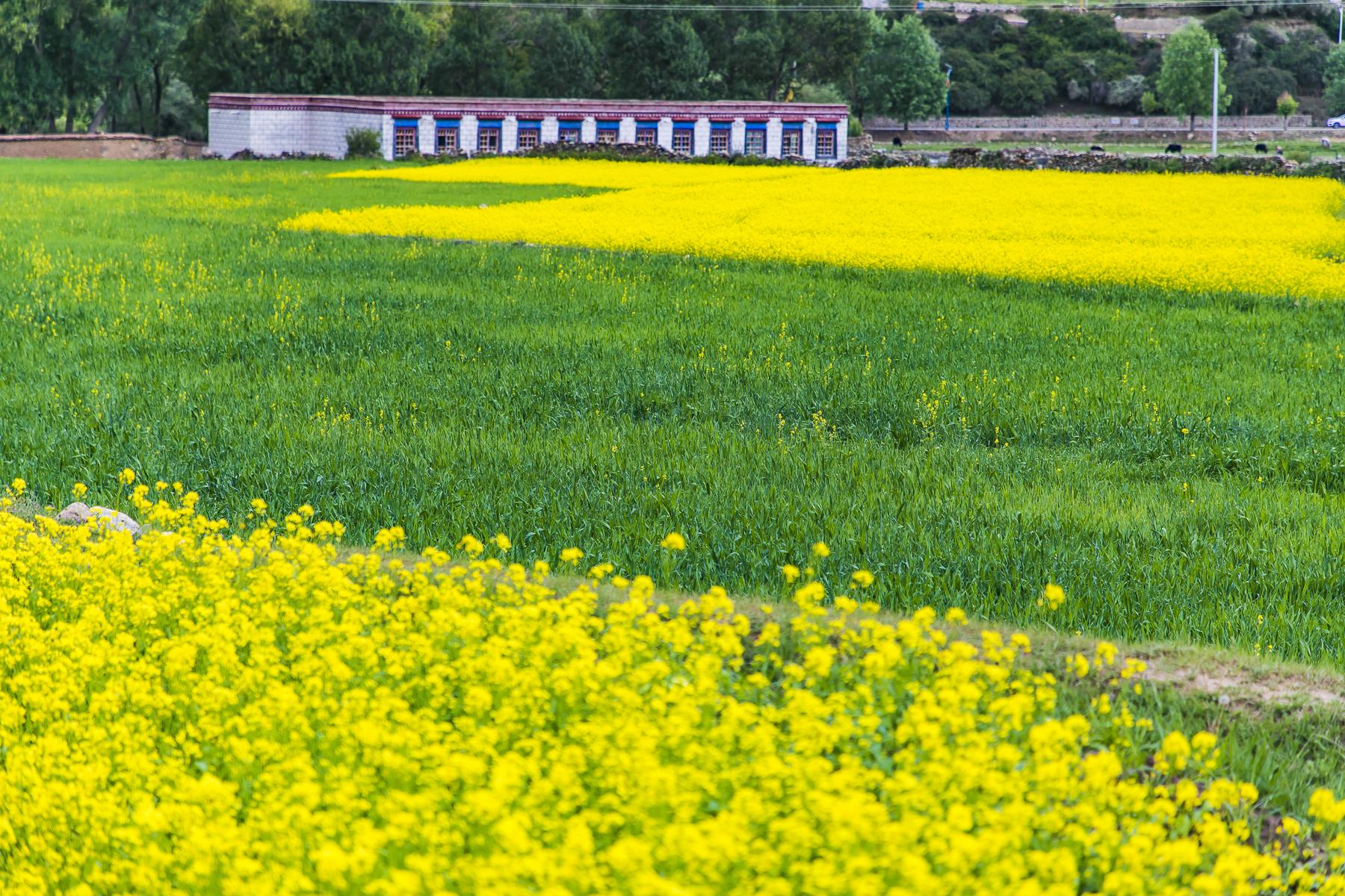 西藏的绝美风光,高原山巅下,万亩油菜花盛开,恍如人间仙境