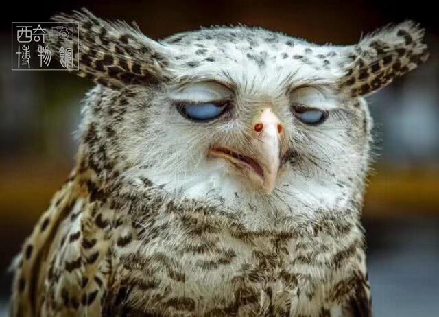 花样历史:猫头鹰会传染疾病吗?为何古人很惧怕它,却还要吃它?