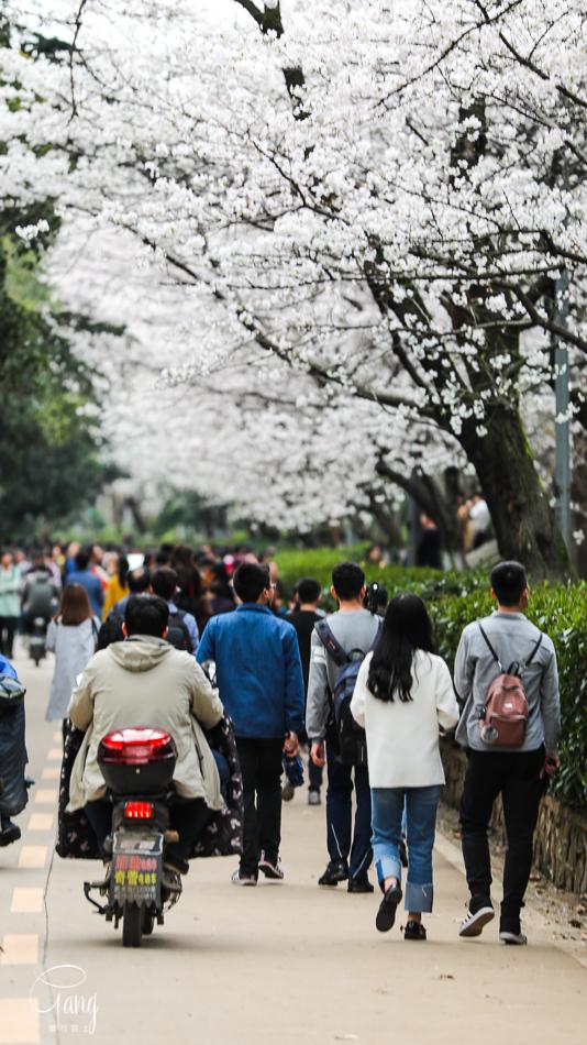 我吐槽过武大的樱花,但等疫情过后,我想第一时间再去一次