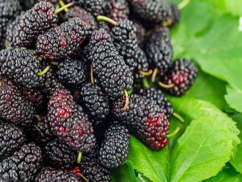 农村常见的几种野果,童年的记忆你吃过几种