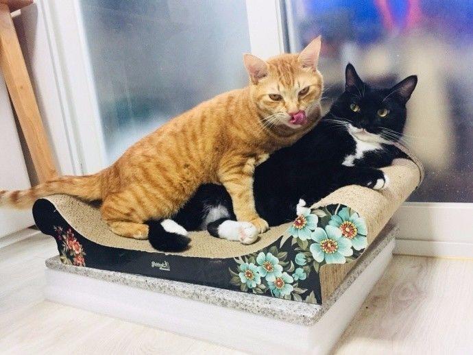 黑喵趴在沙发上休息,橘喵爬上来后,突然就。。。