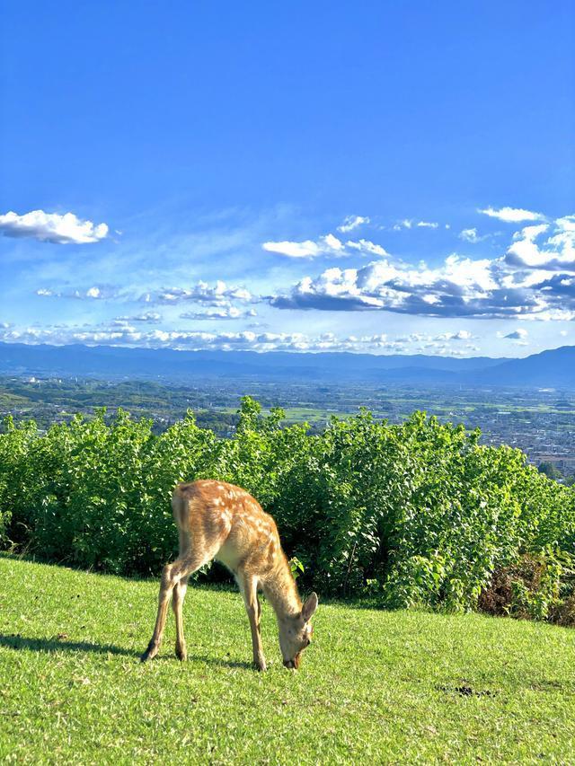 原创            奈良小鹿饿得开始吃草 中国游客锐减  网友:鹿本来不就吃草吗?
