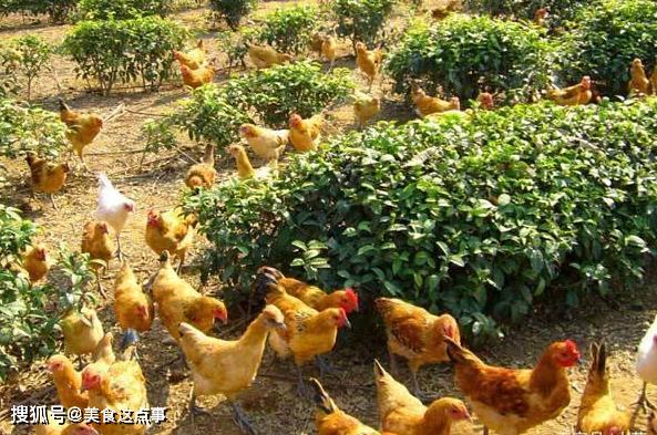 农村土鸡一只两百元,土鸡蛋一斤十多块,农民为何不大规模养殖?