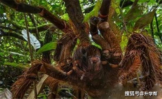世界上超级巨型生物,巨蜘蛛竟然能够吃人