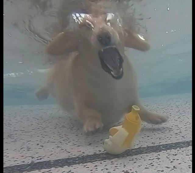 狗狗为捡池里的玩具,奋不顾身跳进水里,从没见过它张这么大的嘴