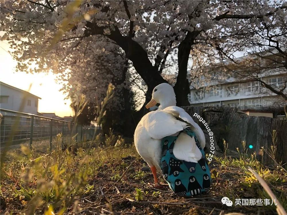 身价近万的鸭鸭被遗弃。好在被领养后,它的日子真.美汁汁...