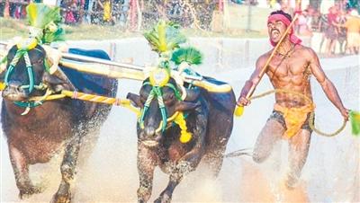印度工人拉牛赛跑惹争议 百米9秒55超博尔特