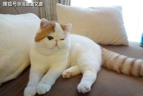 原创            加菲猫掉毛多久掉完,加菲猫掉毛什么时候才能掉完