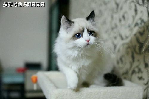 原创            猫咪洗了澡舔自己然后吐毛球,猫咪舔毛后吐毛球
