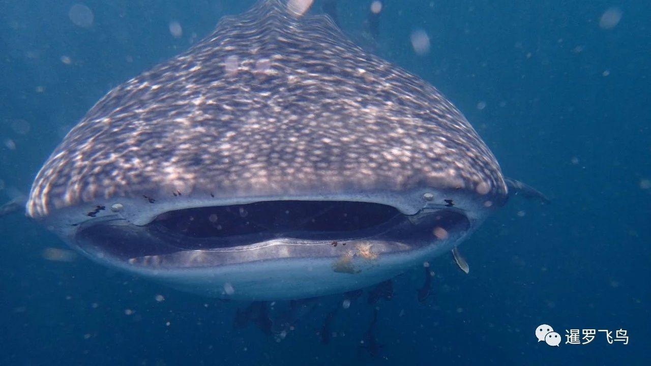 可爱的巨型鲸鲨造访泰国兰塔岛国家公园