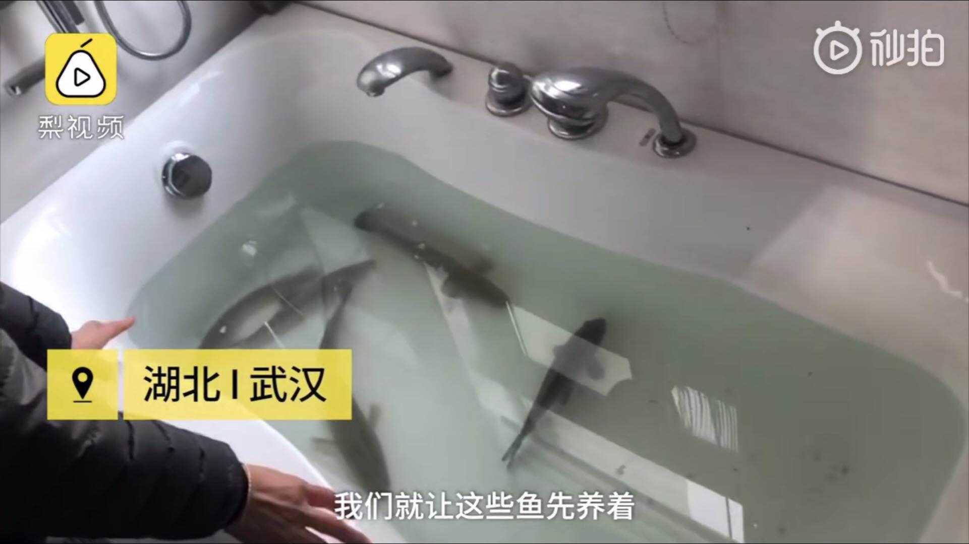 武汉市民浴缸里养鱼:冰箱里吃完再吃活鱼