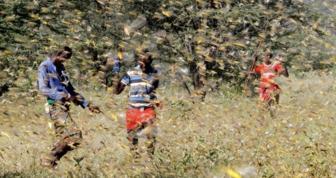 沙漠蝗虫侵袭印巴,农业农村部:严防蝗虫迁入危害