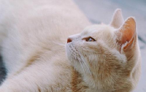 原创            猫毛球症喂油吐毛球,猫毛球症喂油吐出来