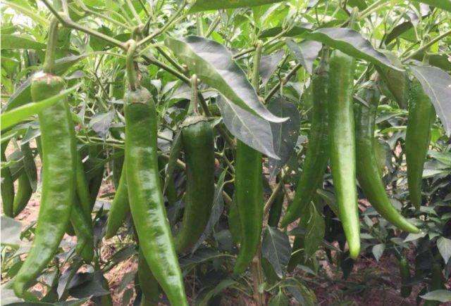 奶奶试了50年的腌辣椒,配方传遍半个村子,腌一次吃一年,超下饭