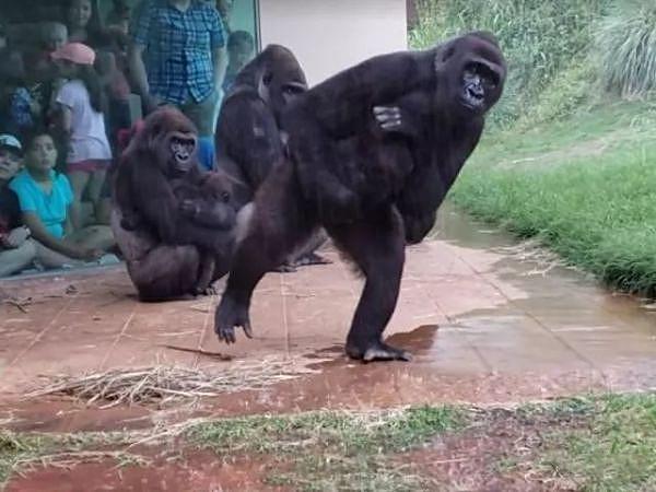 原创            突然下大雨,猩猩一家慌忙而逃,生动的表情让人看了像照镜子
