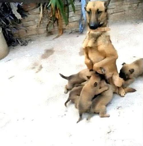 原创            狗狗第一次当妈,女子看见它的喂奶姿势后直言:这也太下饭了吧