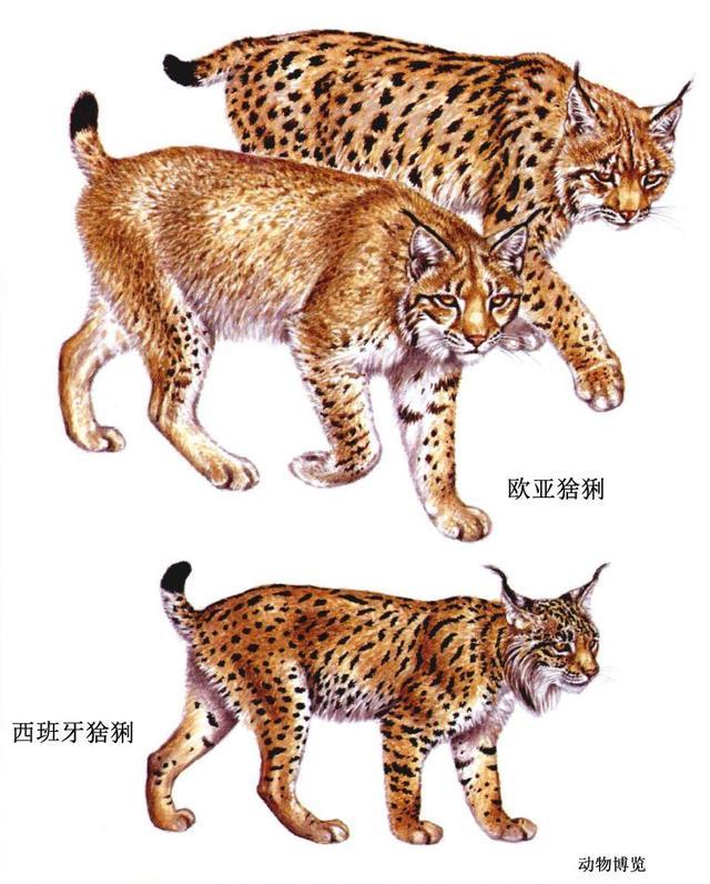 帕拉斯猫vs藏獒图片