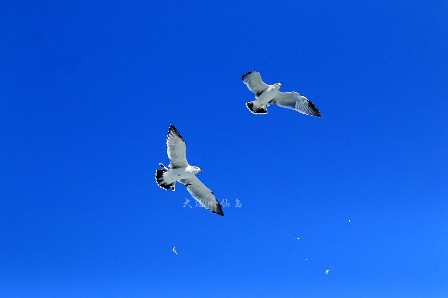 哈仙岛海鸥