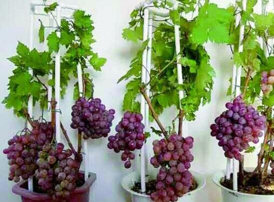 葡萄扦插成活率低?有可能是烂根了,四个技巧教你阳台种植葡萄
