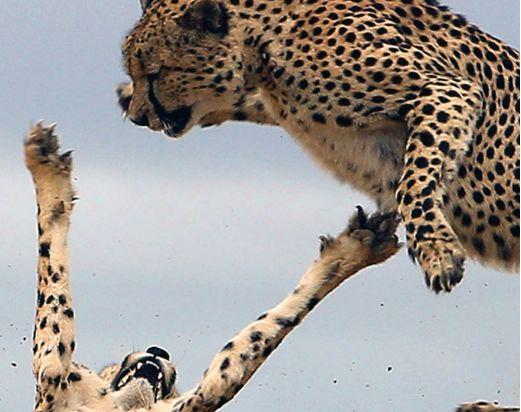 猎豹为护幼崽勇战敌人,飞身进攻网友称堪比动作大片