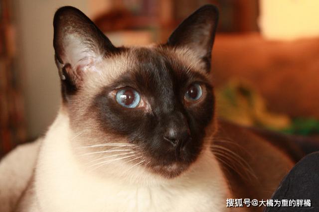 暹罗猫和蓝猫杂交照片图片