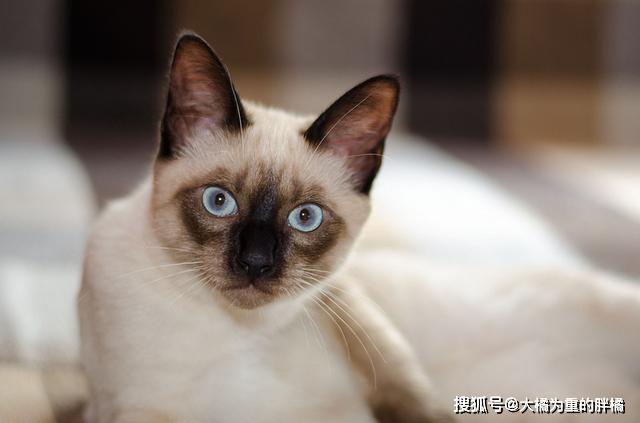 暹罗猫多大才能认主人图片