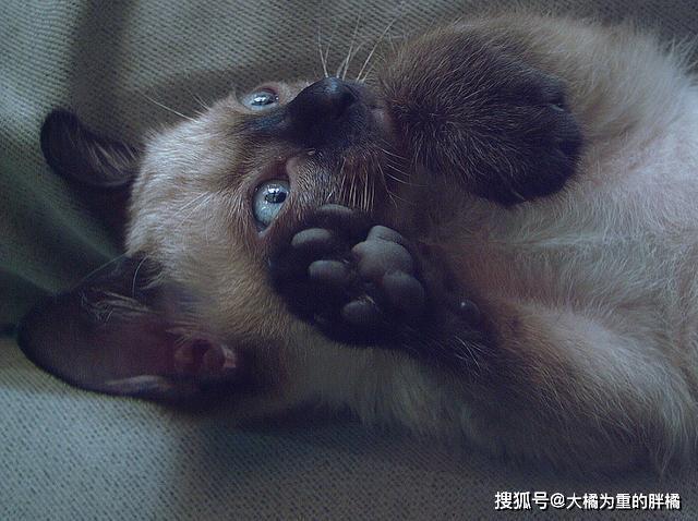 暹罗猫为什么那么懒图片