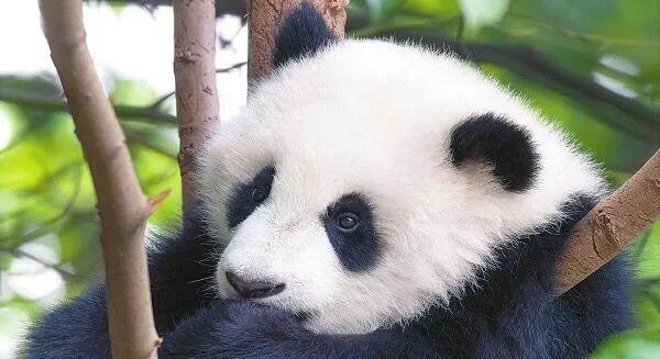 看,这只可爱的大熊猫宝宝生活得多惬意.