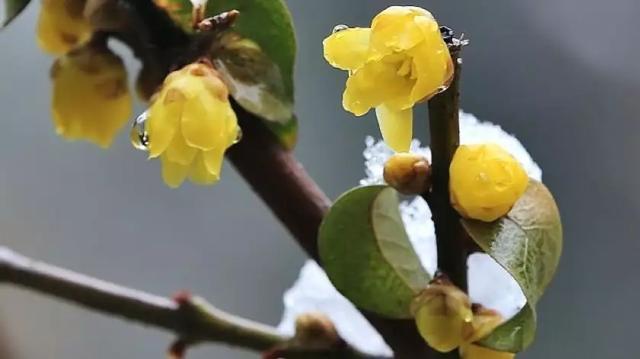 蝶采花成蜡,还将蜡染花——记腊梅花