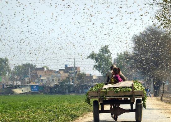 浙江10万鸭子将出征巴基斯坦灭蝗