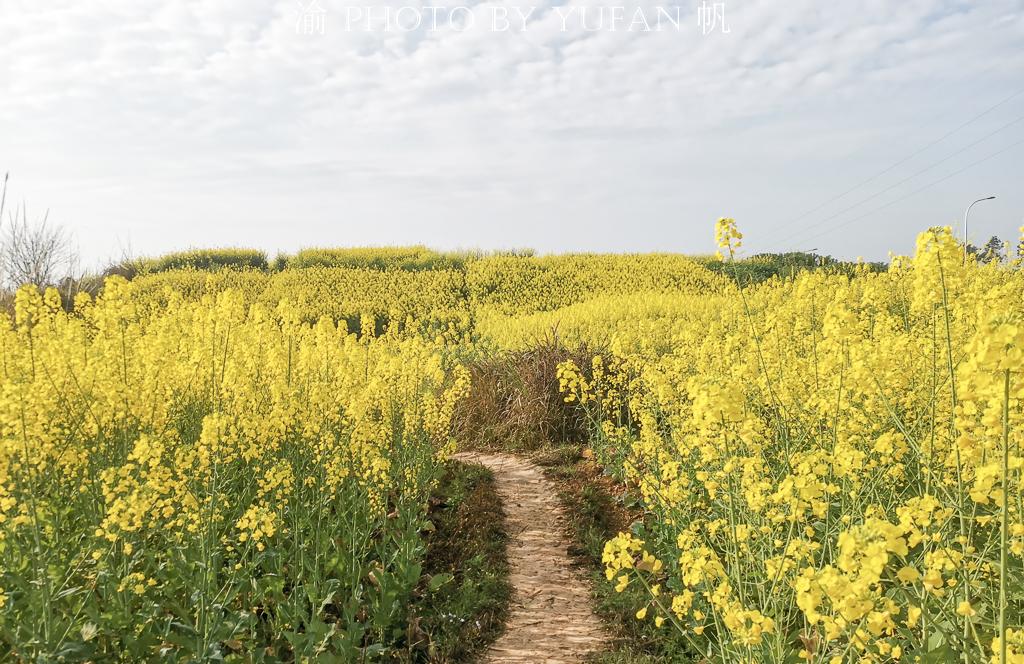 原创            重庆潼南惊现中国最美门路,金色油菜花把公路两旁装扮成花的海洋
