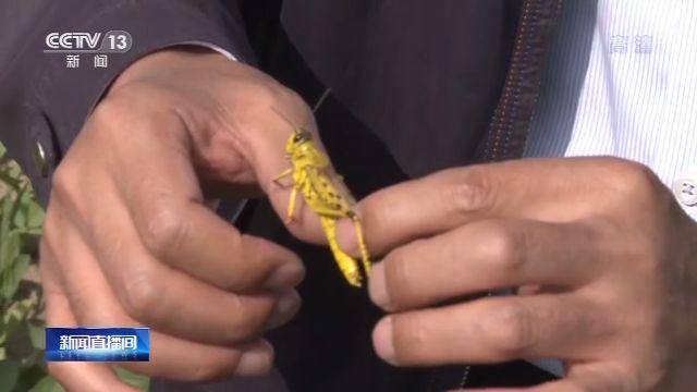 蝗虫威胁非洲最新消息 蝗虫进入交配繁殖期情况严重