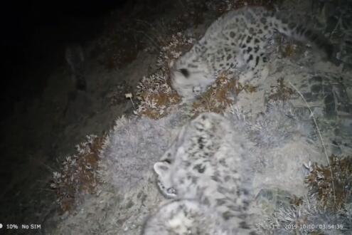 祁连山境内拍到4只雪豹同时漫步 山生态系统得到明显修复